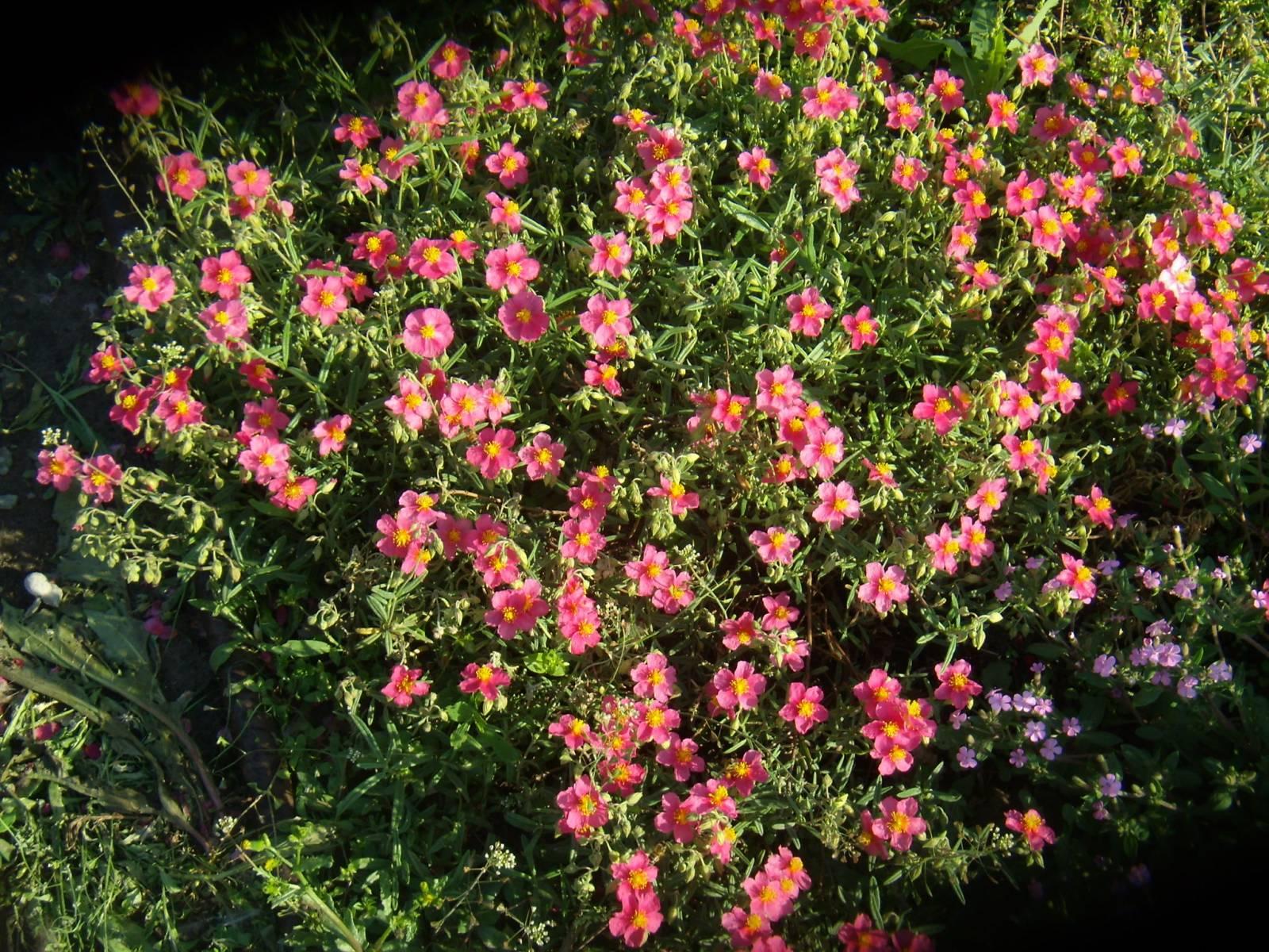Цветок солнцецвет на фото